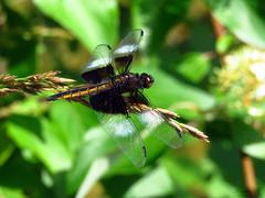Widow Skimmer IMG_5969 (Jennz World) Tags: ©jennifermlivick mtpleasantnaturepark mtpleasant ontario canada dragonfly damselfly