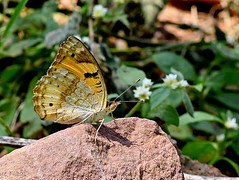 on the rock (kiki nagi) Tags: butterfly insects nature macro nikond750