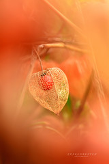 orange lantern (srepton) Tags: orange morning macrophotography magical flower flora fleur flowers lantern bokeh bokehphotography