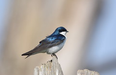 Tree Swallow (Christopher Lindsey) Tags: wileyslough skagit gamerange wma skagitcounty birds birding treeswallow