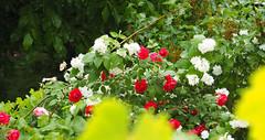 Baden bei Wien Frühling 2018 (arjuna_zbycho) Tags: wiosna frühling spring kwiaty blumen flowers róża rose rosas roses róże rosu rosae flower kwiat blume makrofoto macrophoto jasmin
