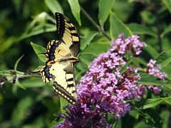 P7135414xx (BUMBI61) Tags: farfalla farfalle butterfly butterflies