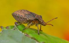 Stink Bug (salmoteb@rogers.com) Tags: macro wild outdoor nature wildlife stink bug ontario canada toronto perch leaf color background