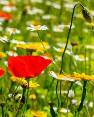 Helmsley Walled Garden (alh1) Tags: helmsleywalledgarden cornfieldmeadow england yorkshire ryedale poppy daisies