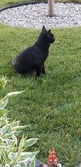 FOUND: Black cat in #Legacy (located at CAS). Pls Rt, share to help locate owners. YYC Pet Recovery shared Thomas Polson's post. yyc animal rescue picked up this cat from Legacy they will be open tomorrow 9 am if it is Yours 2018-07-14T02:28:07.000Z by YY (yycpetrecovery) Tags: ifttt july 14 2018 black dsh legacy cas found foundsighted cat foundsightedcat