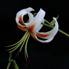 Speciosum Lily, 'Lady Alice' (jlcummins - Washington State) Tags: lily flower blossoms flora yakimacounty washingtonstate canon speciosumlilyladyalice