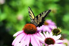 PAS_3621 (peterstratmoen) Tags: wildflowers nature naturebynikon