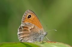 Coenonympha Pamphilus (G.Sartori.510) Tags: pentaxk1 hdpentaxdfa150450mmf4556eddcaw farfalla butterfly coenonymphapamphilus nymphalidae