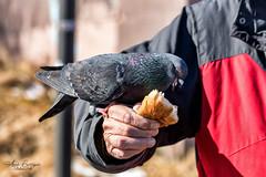 Mine! (WoodlandPixels) Tags: pigeon man food feed bird birdwatching birdfreaks feathers sharing feeding bread glace bay cape breton nova scotia canon canon80d 80d renwick park