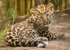Tiny Time Out (Penny Hyde) Tags: amurleopard bigcat cub leopard leopardcub sandiegozoo
