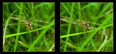 Hoverfly Hanky Panky 1 - Crosseye 3D (DarkOnus) Tags: hoverfly hanky panky pennsylvania buckscounty panasonic lumix dmcfz35 3d stereogram stereography stereo darkonus closeup macro insect insecthumpday hump day wednesday sex mating humping coitus coupling hihd ihd crossview crosseye