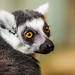 The Sly Mr. Lemur