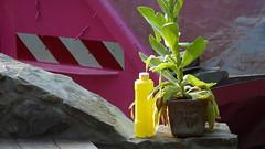 from different worlds (erix!) Tags: container königskerze waterbottle stonewall bruchsteinmauer wasserflasche flasche bottle plant pflanze topfpflanze sunlight things sachen dinge
