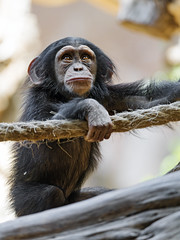 Young chimpanzee with rope (Tambako the Jaguar) Tags: chimpanzee primate ape monkey young cute hand rope posing portrait loroparque tenerife spain nikon d5
