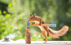 red squirrel climbs on a hammer and a walnut (Geert Weggen) Tags: squirrel acrobat animal backlit breaking broken carpenter cheerful concepts cracked cracker crushed cute dinner endangeredspecies food foodanddrink healthyeating healthylifestyle horizontal humor ingredient lifestyles macrophotography mammal metal metallic nature nopeople nutfood nutcracker open organic outdoors photography physicalpressure positiveemotion red refreshment rodent silvercolored singleobject staring worktool walnut bispgården jämtland sweden geert weggen ragunda