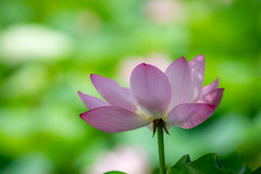 lotus in the shadows (kderricotte) Tags: lotus sony sonya7ii canon200mmf28lii bokeh depthoffield flower plant outdoor kenilworthparkandaquaticgardens washingtondc