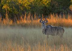 Kudu (mclcbooks) Tags: kudu antelope grass okavangodelta botswana africa safari splashcamp kwara animal nature wildlife