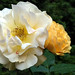 Rose, Yellow 4d