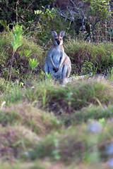 Wallaby in the bush (Mikey Down Under) Tags: animal australia australian bush coast coastal coffs headland icon northcoast northern nsw scrub wallaby wildlife woolgoolga