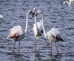 "¿ Quien es el mas ""flamenco"" del estanque ? (ibzsierra) Tags: ibiza eivissa baleares canon 7d tamron g2 150600 flamenco flamingo ave bird ouseau salinas parque natural pelea bronca"