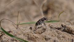 Dünen-Sandlaufkäfer (Oerliuschi) Tags: sand dünensandlaufkäfer käfer natur augustdorferdünenfeld heidelandschaft nahaufnahme
