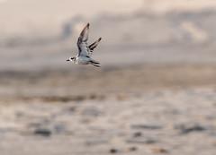 Plover (Eeyore Photography) Tags: robertjacksonphotography wildlife bird photography plover nikkor200500mmf56 capesanblas robertjackson nikond750 eeyorephotography florida
