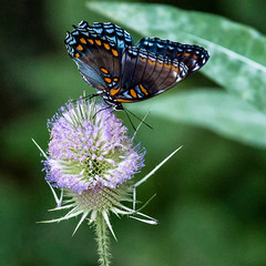 Summer Sign (Portraying Life, LLC) Tags: butterfly summer teasel hd14tc michigan usa wildwood pentax ricoh meadow k1mkii