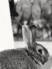 Sr. Jody (saza.zanella) Tags: rabbit animals black white blackandwhite wild photo photography photographer coniglio conejo explore inexplore world lowlightphotography lowlight filter