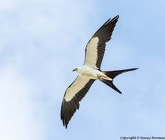 Swallow-tailed Kite (N2NATURE PHOTOGRAPHY) Tags: swallow tailed kite flight texas
