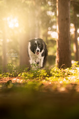 Picture of the Day (Keshet Kennels & Rescue) Tags: rescue kennel kennels adoption dog ottawa ontario canada keshet large breed dogs animal animals pet pets field tree forest nature photography border collie soft light sun woods enchanted peaceful glow morning