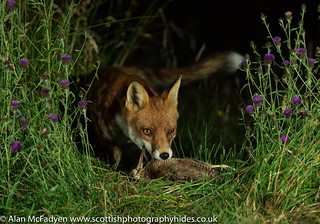 19th July 2018 Red Fox with Woodcock