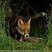 19th July 2018 Red Fox with Woodcock (Alan McFadyen) Tags: