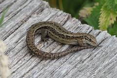 Relaxed (ocelotcreative) Tags: lizard commonlizard reptile ukwildlife wildlife londonwildlife