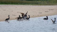 Fuji-X-E3-DSCF1306-20180720 (Drew Saunders) Tags: beach bird california carmel carmelriverstatebeach carmelbythesea ocean pelican seabird