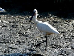 Spoonbill 24.7.18 (ericy202) Tags: spoonbill thornhamharbour mud