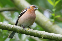 Who ate all the flies? (stellagrimsdale) Tags: chaffinch bird birdphotography birding branch green bokeh perched