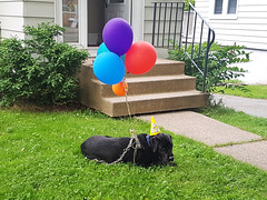 Birthday Dog (Coastal Elite) Tags: birthday black dog balloons calm peaceful doggo lawn chien chiens dogs halifax novascotia anniversaire fête ballons balloon party hat lying grass offleash happy
