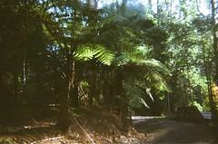 Tree fern (Matthew Paul Argall) Tags: hanimexic500 fixedfocus focusfree 35mmfilm plasticlens cheaplens toycamera trashcam crapcam untouchedandunedited kodakultramax400 kodak400 ultramax 400speedfilm 400isofilm treefern fern ferns plant plants