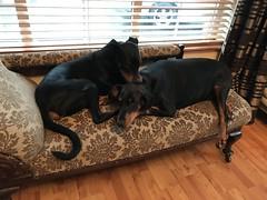 Lazing On A Rainy Afternoon (firehouse.ie) Tags: gabbana saxon perro hund chien k9 pinscher pinschers dobermans dobermanns doberman dobermann dobies dobie dobeys dobey dobes dobe