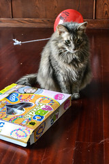 Jack After the Party (Vegan Butterfly) Tags: animal cat cute adorable fur furry beautiful maine coon