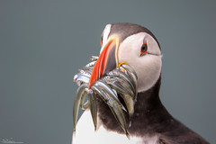 Puffin with its catch (Steve (Hooky) Waddingham) Tags: bird british coast nature northumberland wild wildlife fishing photography puffin