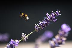 Besuch am Lavendel (100er) Tags: biene blumen insekt lavendel pflanze tier makro tistheseason