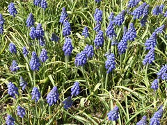 Lombard, IL, Lilacia Park, Blue Grape Hyacinth Flowers (Mary Warren 13.6+ Million Views) Tags: lombardil lilaciapark park garden nature flora plants blooms blossoms flowers blue hyacinth bluehyacinth