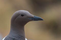 Guillemot....... (klythawk) Tags: guillemot uriaaalge seabird wildlife nature summer brown beige grey black white nikon d500 300mmpf 14xtc stapleisland farnes northsea klythawk