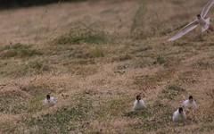 Mouette mélanocéphale et Grande sauterelle verte -  IMBF1859 (6franc6) Tags: occitanie languedoc gard 30 petitecamargue juin 2018 6franc6 vélo kalkoff vae