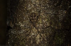Janula (dustaway) Tags: lismore northernrivers nature nsw australia arthropoda arachnida araneae araneomorphae theridiidae janulabicornis australianspiders rprr rotaryparkrainforestreserve