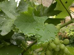 2018-06-10-14877 (vale 83) Tags: vitis vinifera common grape vine nokia n8