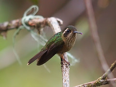 Speckled Hummingbird (Oleg Chernyshov) Tags: speckledhummingbird adelomyiamelanogenys adelomyiamelanogenysmelanogenys черноухийколибри