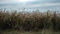 End of life (Wouter de Bruijn) Tags: fujifilm xt2 fujinonxf35mmf14r flower flowers daisy daisies flora grass decay death dying herbal tea nature outdoor walcheren zeeland nederland netherlands holland dutch