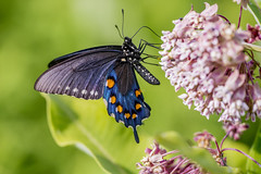 Pipevine Swallowtail (Bernie Kasper (4 million views)) Tags: art berniekasper blue butterfly bigoaksnwr color d600 eyes family flower floral flowers green hiking indiana indianawildflowers indianabutterflies insects insect jeffersoncounty light leaf leaves love milkweed nature nikon naturephotography new night outdoors outdoor old outside photography plant plants raw pipevineswallowtail swallowtail travel trail wildflower wildflowers